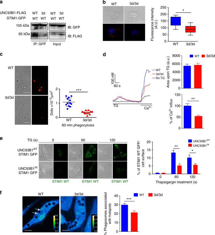 Reduced Unc93b1 3 d -STIM1 association compromises STIM1 function. a Fibroblasts expressing STIM1-WT-GFP-tagged and UNC93B1 WT or UNC93B1 3d -FLAG-tagged, plasmids were lysed and STIM1 was immunoprecipitated with GFP beads and immunoblotted with anti-GFP and anti-FLAG antibodies. b In WT and 3d/3d DCs transfected with STIM1-WT-GFP-plasmid, STIM1–UNC93B1 interaction was detected using Duolink proximity ligation assay with anti-GFP and anti-UNC93B1-specific antibodies. Cells are seen in brightfield (top panel). PLA signals are shown in red and nuclei in blue (bottom panel) and quantified with Image J ( n = 11 cells; * P