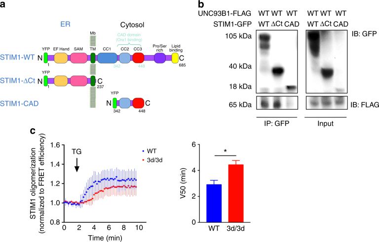 UNC93B1 association with STIM1 ER-luminal is required for STIM1 oligomerization. a Schematic representation of STIM1 full-length protein (WT) and STIM1 mutants (STIM1-ΔCt and STIM1-CAD) used in this study. b Fibroblasts expressing <t>GFP-tagged</t> STIM1- WT, −ΔCT and −CAD and UNC93B1 WT <t>-FLAG-tagged</t> plasmids were immunoprecipitated with GFP beads and immunoblotted with anti-GFP and anti-FLAG antibodies. One experiment representative out of two is shown. c STIM1 oligomerization was followed in HeLa cells in the presence of either Cherry-tagged WT or 3d-mutated UNC93B1 by measuring the increase in the FRET efficiency of YFP-tagged and CFP-tagged STIM1 upon stimulation with 1 μM TG over time. The V50 parameter is reported as the time-to-half–maximum FRET efficiency. Graph shows mean ± S.E.M. ( n = 3 experiments); * P
