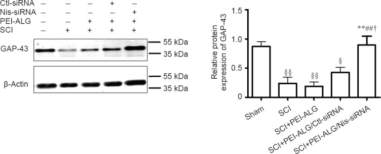 Effect of Nis-siRNA delivered by PEI-ALG nanoparticles on GAP-43 protein expression in the injured spinal cord of rats on day 21 after SCI. Protein expression of GAP-43 was markedly decreased in the SCI, PEI-ALG, and PEI-ALG/Ctl-siRNA groups compared with the sham group (§ P