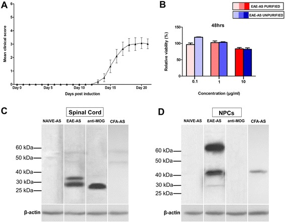 MOG 35–55 -EAE induction elicits a humoral response directed towards the spinal cord and NPCs. a Mean clinical score of all animals during EAE course. Error bars show the standard statistical error of the mean (SEM). b XTT assay indicated the relative NPC viability % of NPCs treated with purified IgG from EAE-AS and unpurified EAE-AS compared with NPCs treated with NAIVE-AS (control), in three different concentrations (0.1, 1, and 10 μg/ml). Data are presented as relative viability percentage (%) as mean ± SEM. Western blot of various antisera from animals immunized with MOG (EAE-AS) yielded one band approximately at 30 kDa on spinal cord substrate ( c ) and bands at above 60 kDa, above 40 kDa, and around 30 kDa on NPC substrate ( d ). Lane probed with EAE-AS demonstrates a representative antiserum. Anti-MOG antibody and anti-actin-loading control were also used
