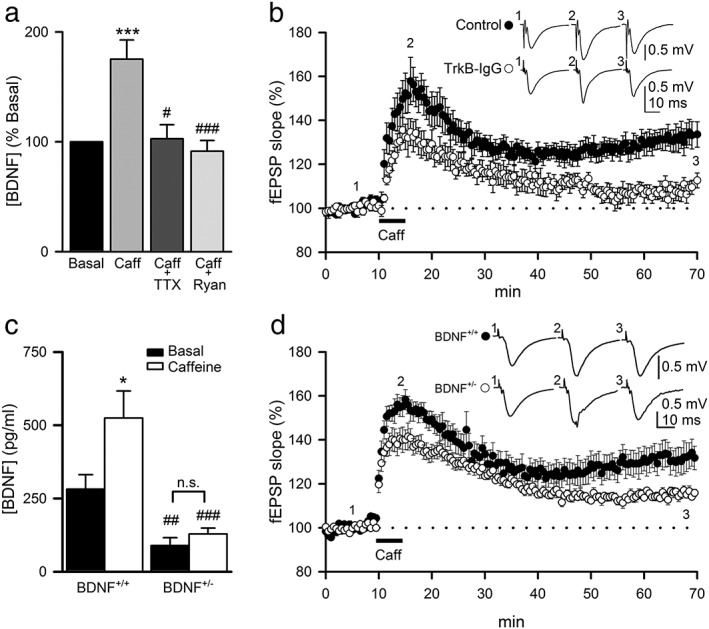 Caffeine‐induced BDNF release and TrkB activation contribute to the maintenance of CAF LTP. (A) Effect of caffeine on BDNF release (percent respect to basal) following 100‐μM caffeine application (5 min) in control conditions ( n = 27; N = 4) and after treatment with tetrodotoxin (TTX, n = 12; N = 4) or ryanodine (Ryan, n = 15; N = 4). Significant differences were established at *** P