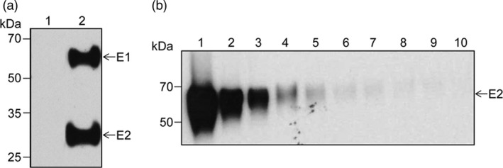 Expression of the HCV E1E2‐encoding gene in mammalian cells. (a) Lysates of control (lane 1) or E1E2‐expressing HEK ‐293T cells (lane 2) were subjected to Western blotting followed by sequential detection with anti‐E2 Abs 3/11 and anti‐E1 Abs A4. (b) The GNA ‐Sepharose purified E1E2 heterodimer (lane 1) was twofold serially diluted (lanes 2‐10), followed by detection of the E2 polypeptide by Western blotting using the anti‐E2 Abs 3/11.