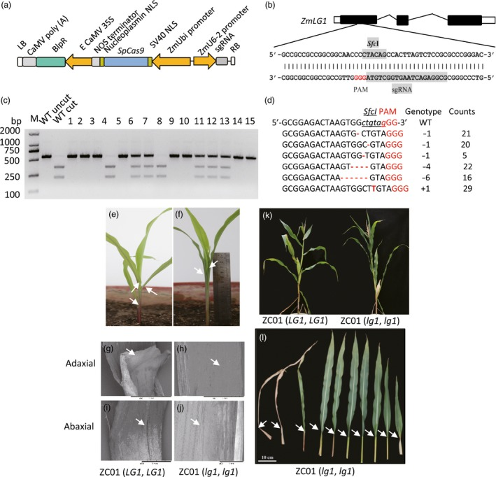 Editing of the LG 1 gene to confer upright leaves and a compact maize plant architecture. (a) Construction of the expression cassette for RNA ‐guided Cas9 targeted genes. (b) The sg RNA mediating site is indicated in exon 1 within the gene structure of Zm LG 1 . The Sfc I restriction enzyme recognition sequence was selected within the designed mutated region of the Cas9 nuclease. The sequence of the single guiding RNA (sg RNA ) region is shaded in grey. (c) PCR ‐ RE ( Sfc I) assay (marker) profiles for 15 randomly selected T0 sample plants. The wild‐type sequence should be cut into two bands ( WT cut). In samples 1, 2, 3, 5, 9, 10, 14 and 15, both copies of LG 1 were mutated were not cleaved. Samples 4 and 8 harboured the wild‐type allele. Samples 6, 7, 11, 12 and 13 were heterozygous for the wild‐type and targeted mutant genotypes ( LG 1 , lg1 ). M, Tiangen D2000 2 K DNA marker (Tiangen, Beijing, China). (d) Relatively high frequency of targeted mutation events ( n > 5) among 207 editing events. (e) Phenotype of a 2‐week‐old wild‐type ZC 01 seedling ( LG 1 , LG 1 ); (f). Phenotype of the generated LG 1 ‐null mutation seedling with the same genetic background as the wild‐type seedling, ZC 01 ( lg1 , lg1 ). (g–j). SEM of the adaxial (g, h) and abaxial (i, j) surfaces of the junction of the sheath and leaf of the 2‐week‐old plant showing the ligule and auricle phenotypes. The wild‐type plant (g and i) exhibited a ligule and auricle, but the generated mutant (h and j) lacked both a ligule and auricle. The upright leaves and compact plant architecture were evident throughout the growing stage until the late stage (k), due to the flat angle between the sheath and leaves that resulted from ligule and auricle mutation (l).
