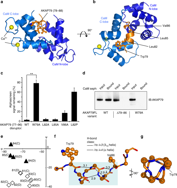 Crystal structure of CaM in complex with its AKAP79 binding site. a Cartoon representation showing one of the two copies (chains B and D) of AKAP79 peptide (orange) bound to CaM ( blue ) in the asymmetric unit. The C-lobe (lighter blue ) is in the open conformation with each of its two EF hands coordinating Ca 2+ (yellow). b Rotation of the complex through 90° highlighting the position of the four hydrophobic amino acids comprising the 1-4-7-8 motif. c Reduction in alphascreen signal between biotin-CaM and GST-AKAP79 (1–153) upon addition of 20-mer peptides derived from AKAP79 77–96 ( n = 4). The effects of point mutations within the disruptor peptide were compared. d Binding of purified full-length WT, Δ79–86 or W79A AKAP79 to CaM sepharose. Each AKAP79 variant was purified in complex with the D/D of RIIα. AKAP79 was released from the beads by incubation with EGTA, and detected by anti-AKAP79 IB. The experiment was performed in triplicate with each replicate leading to the same pattern of bands. e Limited Ramachandran plot showing dihedral angles for both copies of AKAP79 positions 80–85 in the asymmetric unit. Black triangles represent amino acids with angles characteristic of 3 10 helices; white diamonds are amino acids with α-helical geometry. f Representation of backbone H-bonds within the AKAP79 helix with distances shown in Å. The two α-helix-type bonds are shown by dotted lines; 3 10 -helical H-bonds as striped lines. The carbonyl group of S81 that does not H-bond to a backbone group is asterisked. g Rotation of the helix through 90°. The triangular backbone geometry of positions 83–86 is such that the side-chains of W79, L83 and T86 extend in the same direction. ** P