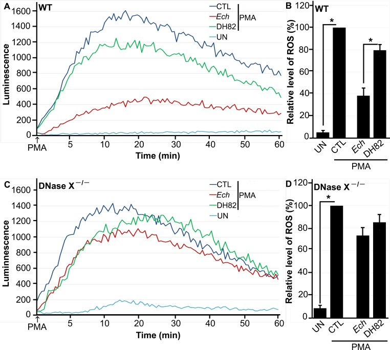E. chaffeensis blocks PMA-induced ROS generation by BMDMs from WT mice but not by BMDMs from DNase X −/− mice. BMDMs from WT (A, B) and DNase X −/− (C, D) mice were preincubated with luminol in HBSSd for 15 min and then incubated with E. chaffeensis ( Ech ) isolated from infected DH82 cells, DH82 cell lysate, or HBSSd (control [CTL]) at 37°C for 30 min. ROS generation was continuously recorded as the relative chemiluminescence of oxidized luminol after the addition of PMA (0.5 µg/ml, indicated by arrows) (A, C). UN, unstimulated BMDMs in HBSSd without PMA addition. The area under the curve was measured over 60 min after PMA addition and is shown relative to ROS generation in the control with PMA, which was considered 100% (B, D). Results are presented as the mean ± the standard deviation from at least three independent experiments and were compared with a Student t test; *, P