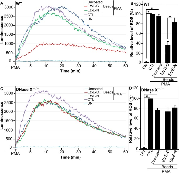 EtpE-C-coated beads block PMA-induced ROS generation by BMDMs from WT mice but not by BMDMs from DNase X −/− mice. BMDMs from WT (A, B) and DNase X −/− (C, D) mice were preincubated with luminol in HBSSd for 15 min and then incubated with beads coated with 40 ng of EtpE-C or EtpE-N, uncoated beads (~5 × 10 6 ), or with HBSSd (control [CTL]) at 37°C for 30 min. ROS generation was induced with PMA, recorded (A, C), and analyzed (B, D), and the results are presented as in Fig. 1 ; UN, unstimulated BMDMs in HBSSd without PMA addition. *, P