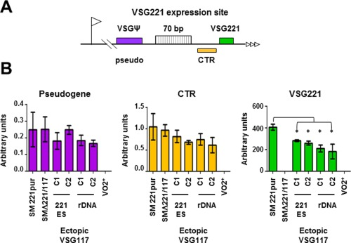 Expression of ectopic VSG117 leads to significant reduction in levels of VSG221 mRNA but no significant attenuation of transcription at the active VSG221 telomere. A. Schematic of the VSG221 ES telomere indicating the relative positions of a single copy VSG pseudogene (ψ), 70 bp repeats, the VSG221 co‐transposed region (CTR) and VSG221 . The ES promoter is indicated with a flag and telomere repeats with horizontal arrows. The schematic is not to scale. B. Quantification of RNA transcript levels corresponding to the VSG pseudogene, CTR or VSG221 in cells where ectopic VSG117 with a VSG221 3′UTR was inserted into the active VSG221 ES or an rDNA spacer using qPCR. Transcript levels were normalised against actin, and data are presented as arbitrary units (2 –ΔCt ). The 'single‐expresser' SM221pur (221+) and SMΔ221/117 (117+) cell lines, as well as the HNI(VO2) cell line (V02+) with an active VSGV02 ES are included as controls. As expected, there was significant reduction in levels of VSG221 transcript on expression of ectopic VSG117 (* P