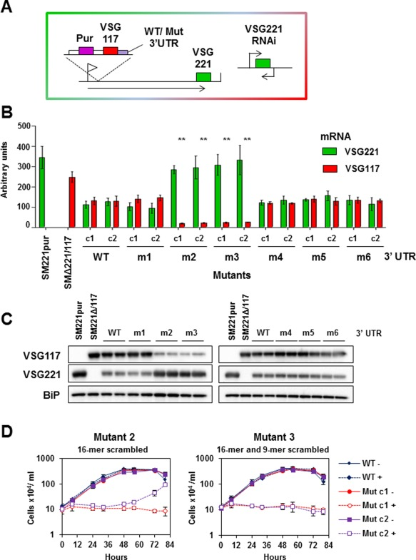 The conserved 16‐mer sequence within the VSG 3′UTR is essential for high levels of VSG expression. A. Schematic of the cell line used for the VSG 3′UTR studies. Constructs containing VSG117 flanked downstream by either wild type (WT) or mutant VSG117 3′ UTRs were inserted into the active VSG221 expression site (ES) of the bloodstream form T. brucei 221VB1.1 cell line. The selectable marker was a puromycin (Pur) resistance gene. VSG221 RNAi can be induced in this cell line, which allows one to establish if ectopic VSG117 can compensate for lack of VSG221 transcript. Promoters are indicated with flags and transcription with arrows. B. Levels of VSG117 and VSG221 transcript as determined using qPCR. RNA was isolated from cell lines expressing ectopic VSG117 flanked downstream by either a wild type VSG117 UTR, or a VSG117 UTR with mutations in conserved features. The VSG 3′UTR mutant numbers (1–6) are described in Fig. 5 C. RNA from the SM221pur (221+) or SMΔ221/117 (117+) 'single‐expresser' strains is analysed as a control. Values normalised against actin are shown in arbitrary units (2 ‐ΔCt ), with the amount of VSG221 (red bars) or VSG117 (green bars) transcript shown as the mean of three independent experiments with the standard deviation indicated with error bars. The only significant reduction in VSG117 transcript compared with wild type (WT) was in mutants m2 and m3 containing scrambled 16‐mer sequences (** P