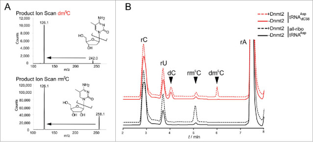 LC-MS analysis confirms that Dnmt2 methylates a tRNA containing a deoxycytidine at position 38. (A) Fragmentation patterns and mass transitions used for scanning of rm 5 C and dm 5 C in LC-MS. (B) LC-MS analysis of all-ribo tRNA Asp and hybrid tRNA Asp dC38 before and after in vitro methylation by human Dnmt2.