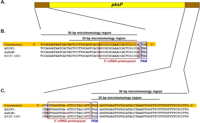 Selection of dual crRNA protospacer sequences. (A) Schematic diagram of pksP coding sequence and the flanking regions that are targeted by dual in vitro -assembled <t>Cas9</t> RNPs. Designing the protospacers is described in Results. (B and C) Sequence alignment of pksP upstream (B) and downstream (C) regions of three distinct genetic backgrounds of A. fumigatus . The consensus sequence (highlighted in orange) was manually generated based on sequence alignment. The 5′ crRNA and 3′ crRNA protospacer sequences are marked by red open boxes. The protospacer-adjacent motif (PAM) sequences are marked by blue open boxes. Start and stop codons are highlighted in gray. The additional adenine in the pksP downstream region of the Δ akuB strain and the clinical isolate DI15-102 is shown in red font. Cas9 DSB sites (i.e., 3 nucleotides upstream of the PAM site [ 1 , 9 , 57 ]) are marked by a vertical line in the sequence. The sequences of the 35-bp and 50-bp regions that are used for microhomology-mediated integration are marked by a line above the sequence.