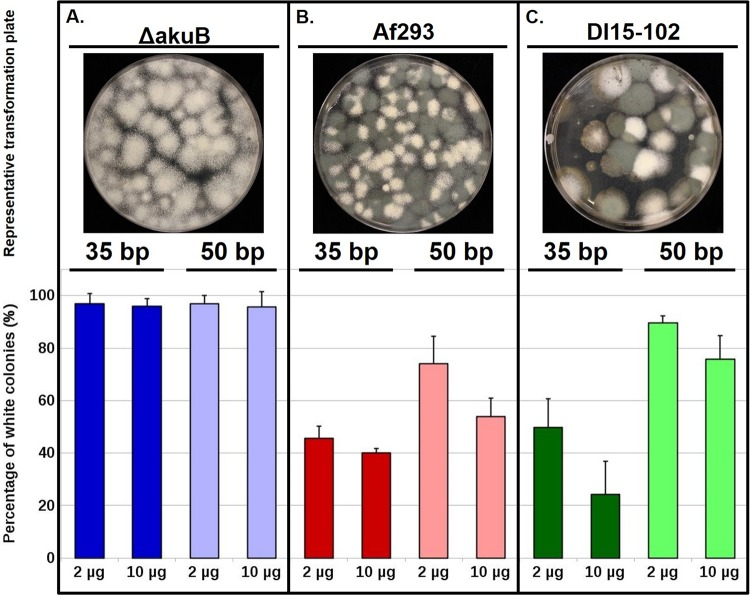 High efficiency of gene deletion in all tested genetic backgrounds of A. fumigatus . In vitro -assembled Cas9 RNPs coupled with microhomology-mediated integration of the HygR cassette were tested in Δ akuB (A), Af293 (B), and DI15-102 (C) strains. (Above) Representative transformation plates are shown for each strain using 2 µg of the HygR repair template that is flanked by 35-bp microhomology arms. (Below) The assessment of pksP deletion efficiency across different strains is plotted as the number of Δ pksP mutants out of the total number of transformation colonies. Deletion efficiencies were assessed based on the color of conidia. The Δ pksP mutant produces white colonies, while ectopic integrations result in green colonies. Deletion efficiencies represent the average from at least three independent transformations. Error bars represent the standard deviation calculated for each combination of strain, the size of HygR microhomology arms, and concentration of the HygR repair template for all experimental replicates.