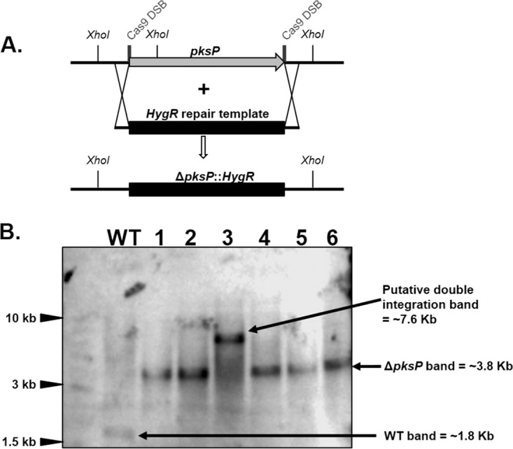 Southern blot analysis of Δ pksP mutant generated in the Af293 background. (A) Schematic representation of the genomic locus of the Af293 and Δ pksP strains. Deletion of the pksP gene was carried out using the HygR cassette. The cleavage sites of the dual in vitro -assembled Cas9 RNPs are marked by thick vertical lines. XhoI cutting sites are indicated in the pksP locus of the wild-type and Δ pksP strains. (B) Southern blot analysis of 6 arbitrarily selected colonies after digesting genomic DNA with the XhoI restriction enzyme. The wild type (WT) produced a 1.8-kb band that matches the expected wild-type banding pattern. Lanes 1, 2, 4, 5, and 6 displayed a 3.8-kb band which matches the expected pksP deletion banding pattern. The colony in lane 3 displayed a 7.6-kb band, likely containing a tandem integration of the HygR repair template at the pksP locus.