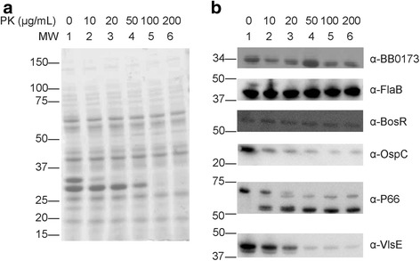 Protection of BB0173 from protease degradation. Surface proteins of B. burgdorferi are degraded by serine protease Proteinase K (PK). Whole cell lysates were treated with doses ranging from 0 to 200 μg/mL PK prior to separation using SDS-12% PAGE. Gels were either visualized using Coomassie blue staining ( a ) or transferred to a PVDF membrane and probed with antibodies ( b ). BB0173 was detected using anti-BB0173 pep and anti-chicken HRP-conjugated antibody. Controls for PK mediated degradation and cell integrity during treatment included intercellular protein BosR and periplasmic protein FlaB, as well as outer membrane proteins OspC, VlsE, and P66