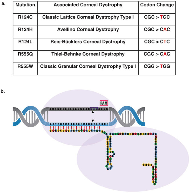 S. pyogenes Cas9 to treat dominant negative TGFBI corneal dystrophies. ( a ) Cas9 (purple outline) can be directed to cut any sequence in the genome (DNA target in grey), provided it is directly upstream of a protospacer adjacent motif known as PAM (pink box). This can be achieved by altering the 20 nucleotide guide sequence, which is associated with a 82 nucleotide scaffold. ( b ) 5 prevalent TGFBI mutations and their associated corneal dystrophy and codon change. ( c ) Schematic of the position of the 60 missense mutations across the TGFBI gene. The hotspots at exons 4, 11, 12 and 14 are evident, with exons 4 and 12 expanded to show the location of the 5 most prevalent TGFBI mutations; R124C, R124H, R125L, R555Q and R555W.