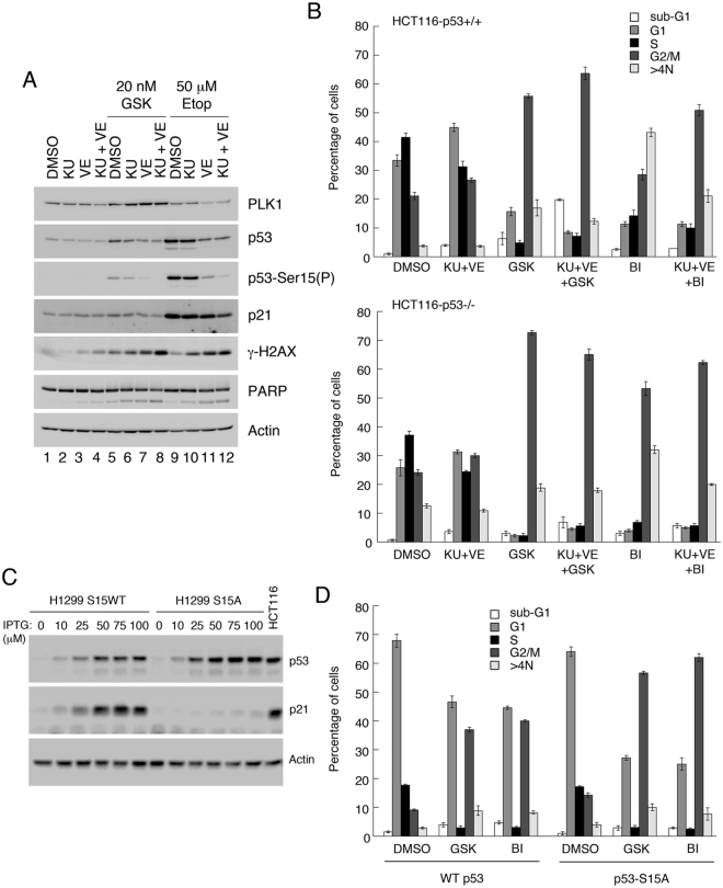 Induction of p53 and appearance of post-mitotic G1 (2N) cells by PLK1 inhibitors occurs through the DNA damage response pathways. ( A ) HCT116-p53+/+ cells were pre-treated for 1 h with 10 μM KU55933 and/or 10 μM VE821, and subsequently treated for 24 h with 20 nM GSK461364 or, as control, 50 μM etoposide. Cell extracts were analyzed by western blotting. ( B ) HCT116-p53+/+ and -p53−/− cells were pre-treated for 1 h with 10 μM KU and 10μM VE821 then further treated for 24 h with 20 nM GSK461364 or 10 nM BI6727, or with DMSO as control. Cells were then harvested and analyzed by flow cytometry. ( C ) H1299 (endogenous p53-null) cells ectopically expressing wild type p53, or a S15A substitution mutant of p53, via the LacSwitch II system (Stratagene) were treated for 16 h with increasing levels of the inducer, IPTG. Cell extracts were analyzed by western blotting as indicated. ( D ) H1299-WTp53 or H1299-S15A-p53 cells were treated for 16 h with 100 μM IPTG, followed by treatment for 24 h with 20 nM GSK461364 or 10 nM BI6727, or DMSO as control. Cells were harvested and analyzed by flow cytometry. Panels A and C show cropped western blots: full length gels including molecular weight markers are provided in the Supplementary Information. The data in panels B and D are each representative of two independent experiments, each done in triplicate. Error bars represent the standard deviation of the mean.