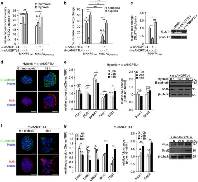 ANGPTL4 increases cellular bioenergetics for EMT competency. ( a ) Fluorescence-activated cell sorting (FACS) analysis of the fluorescent glucose analog 2-NBDG uptake and ( b ) percentage increase in energy charge in MKN74 and MKN74 Snai1ER cells after the indicated treatments. ( c ) Immunoblot analysis of GLUT1 expression in MKN74 cells after the indicated treatments. ( d , f ) Immunofluorescence staining of E-cadherin in hypoxia-treated MKN74 cells in the presence of neutralizing human cANGPTL4 antibodies (α-cANGPTL4) ( d ) and recombinant human cANGPTL4 (rh-cANGPTL4) -treated MKN74 ( f ) at the indicated time intervals. Cells were counterstained with DAPI (blue) for nuclei and phalloidin (red) for actin cytoskeleton. Scale bar=40 μm. ( e , g ) Relative mRNA expression (left panel) and immunodetection (middle and right panels) of EMT markers in hypoxia-treated MKN74 cells exposed to α-cANGPTL4 ( e ) and rh-cANGPTL4 ( g ) at the indicated time intervals. For immunoblot analyses, representative immunoblot pictures and densitometric quantification plots are shown. Loading controls for the immunoblot analyses were from the same sample. For qPCR, TBP was used as reference gene. Data are represented as mean±s.d. from at least three independent experiments. * P