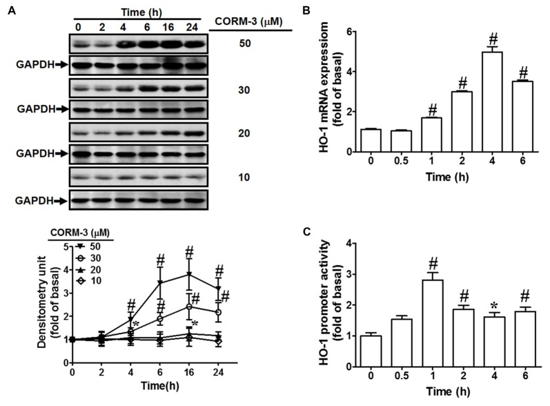CO-releasing molecule-3 (CORM-3) induces heme oxygenase-1 (HO-1) expression. (A) Rat brain astrocytes (RBA)-1 cells were treated with various concentrations of CORM-3 for the indicated time intervals. The levels of HO-1 and GAPDH (as an internal control) protein expression were determined by Western blot. (B) Cells were treated with 30 μM CORM-3 for the indicated time intervals. The HO-1 mRNA levels were determined by real-time PCR. (C) Cells were co-transfected with HO-1 promoter and β-galactosidase plasmids, and then incubated with 30 μM CORM-3 for the indicated time intervals. HO-1 promoter luciferase activity was determined in the cell lysates. Data were expressed as mean ± standard errors of the mean (SEM) of three independent experiments ( n = 3). * p