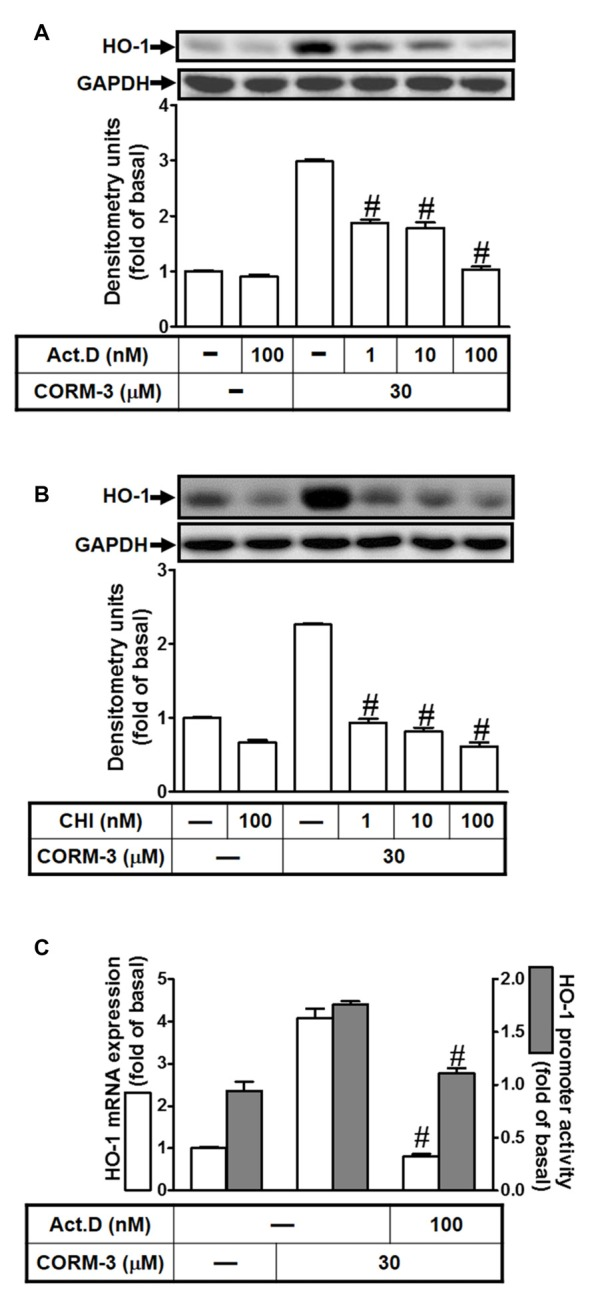 CORM-3 induces HO-1 expression via transcription and translation. RBA-1 cells were pretreated with various concentrations of either (A) actinomycin D (ActD) or (B) cycloheximide (CHI) for 1 h and then incubated with 30 μM CORM-3 for 6 h. The levels of HO-1 and GAPDH (as an internal control) protein expression were determined by Western blot. (C) RBA-1 cells were pretreated with 100 nM ActD for 1 h and then incubated with 30 μM CORM-3 for 4 h. The levels of HO-1 mRNA were determined by real-time PCR (open bars). Cells were transiently transfected with HO-1 report gene together a β-galactosidase plasmid, pretreated with 100 nM ActD for 1 h, and then incubated with 30 μM CORM-3 for 1 h. Promoter activity was determined in the cell lysates (shaded bars). Data are expressed as the mean ± SEM of three independent experiments ( n = 3). # p