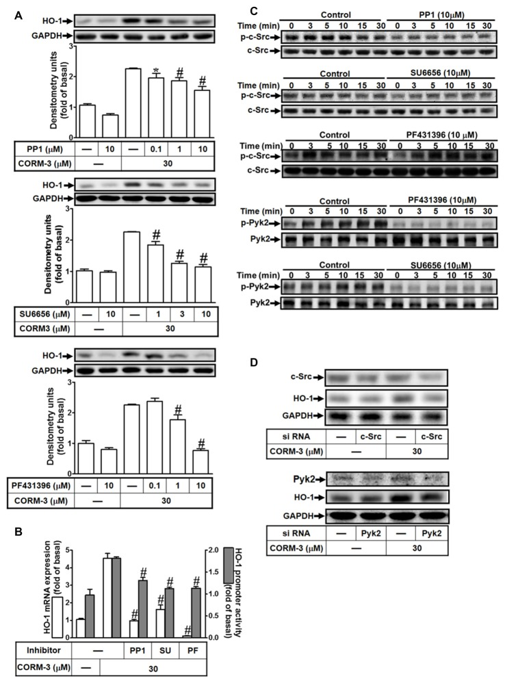 CORM-3 induces HO-1 expression via c-Src and Pyk2. (A) RBA-1 cells were pretreated with various concentrations of PP1, SU6656 or PF431396 for 1 h, and then incubated with 30 μM CORM-3 for 6 h. The levels of HO-1 and GAPDH (as an internal control) protein expression were determined by Western blot. (B) RBA-1 cells were pretreated with 10 μM PP1, 10 μM SU6656, or 10 μM PF431396 for 1 h and then incubated with 30 μM CORM-3 for 4 h. The levels of HO-1 mRNA were determined by real-time PCR (open bars). Cells were transiently transfected with HO-1 report gene together a β-galactosidase plasmid, pretreated with 10 μM PP1, 10 μM SU6656, or 10 μM PF431396 for 1 h, and then incubated with 30 μM CORM-3 for 1 h. Promoter activity was determined in the cell lysates (shaded bars). (C) RBA-1 cells were pretreated without or with 10 μM PP1, 10 μM SU6656, or 10 μM PF431396 for 1 h and then incubated with 30 μM CORM-3 for the indicated time intervals. The cell lysates were subjected to western blot using an anti-phospho-c-Src, anti-phospho-Pyk2, anti-c-Src, or anti-Pyk2 antibody. (D) Cells were transfected with c-Src siRNA or Pyk2 siRNA and then incubated with 30 μM CORM-3 for 6 h. The cell lysates were subjected to western blot using an anti-HO-1, anti-c-Src, anti-Pyk2 or GAPDH (as internal control) antibody. Data were expressed as mean ± SEM of three independent experiments ( n = 3). * p