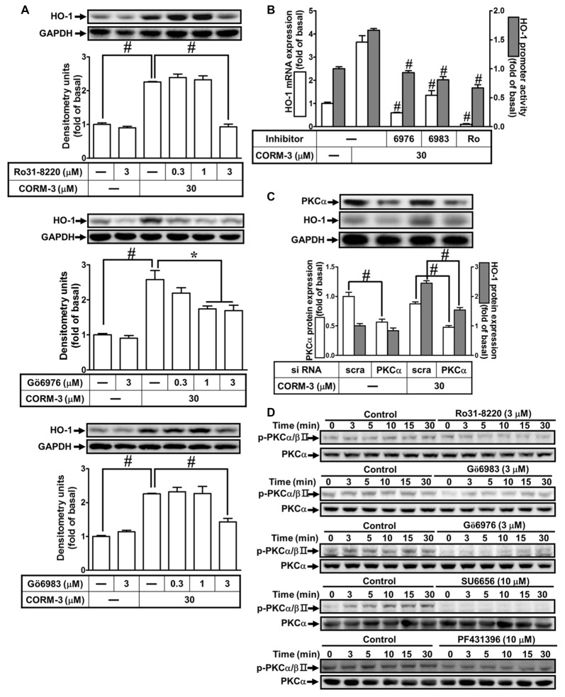 CORM-3-induced HO-1 protein expression is mediated via protein kinase C (PKCα). (A) RBA-1 cells were pretreated with various concentrations of Ro31-8220, Gö6976, or Gö6983 for 1 h, and then incubated with 30 μM CORM-3 for 6 h. The levels of HO-1 and GAPDH (as an internal control) protein expression were determined by Western blot. (B) RBA-1 cells were pretreated with 3 μM Gö6976, 3 μM Gö6983, or 3 μM Ro31-8220 for 1 h and then incubated with 30 μM CORM-3 for 4 h. The levels of HO-1 mRNA were determined by real-time PCR (Open bars). Cells were transiently transfected with HO-1 report gene together a β-galactosidase plasmid, pretreated with 3 μM Gö6976, 3 μM Gö6983, or 3 μM Ro31-8220 for 1 h, and then incubated with 30 μM CORM-3 for 1 h. Promoter activity was determined in the cell lysates (Gray bars). (C) RBA-1 cells were transfected with PKCα siRNA and then incubated with 30 μM CORM-3 for 6 h. The cell lysates were subjected to western blot using an anti-HO-1, anti-PKCα, or anti-GAPDH (as internal control). The densitometric quantifications are indicated on the panels. (D) RBA-1 cells were pretreated with 3 μM Ro31-8220, 3 μM Gö6983, 3 μM Gö6976, 10 μM SU6656, or 10 μM PF431396 for 1 h, and stimulated with 30 μM CORM-3 for the indicated time intervals. Phosphorylation of PKCα/βII was determined by Western blot using an anti-phospho-PKCα/βII or anti-PKCα antibody. Data are expressed as the mean ± SEM of three independent experiments ( n = 3). * p