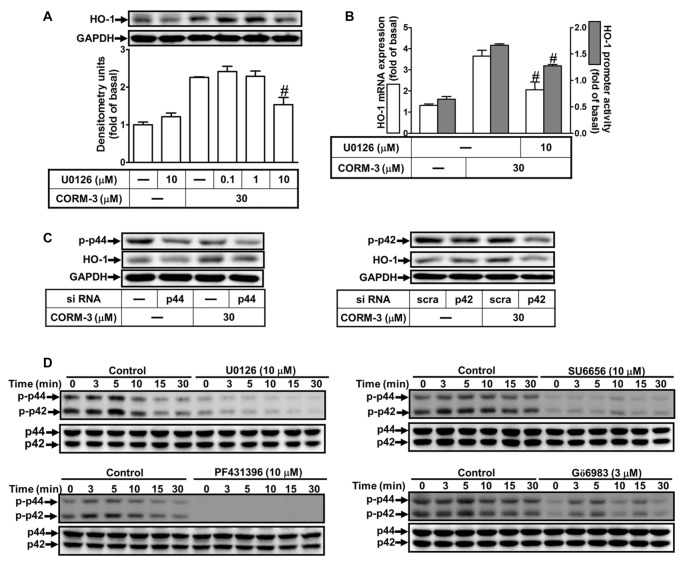 CORM-3-induced HO-1 expression is mediated through p42/p44 mitogen-activated protein kinase (MAPK). (A) RBA-1 cells were pretreated with various concentrations of U0126 for 1 h, and then incubated with 30 μM CORM-3 for 6 h. The levels of HO-1 and GAPDH (as an internal control) protein expression were determined by Western blot. (B) RBA-1 cells were pretreated with 10 μM U0126 for 1 h and then incubated with 30 μM CORM-3 for 4 h. The levels of HO-1 mRNA were determined by real-time PCR (Open bars). Cells were transiently transfected with HO-1 report gene together a β-galactosidase plasmid, pretreated with U0126 (10 μM) for 1 h, and then incubated with CORM-3 for 1 h. Promoter activity was determined in the cell lysates (Gray bars). (C) RBA-1 cells were transfected with p44 or p42 siRNA and then incubated with 30 μM CORM-3 for 6 h. The levels of total p42, p44 and HO-1 were determined by Western blot. (D) RBA-1 cells were pretreated with 10 μM U0126, 10 μM SU6656, 10 μM PF431396, or 3 μM Gö6983, for 1 h and then incubated with 30 μM CORM-3 for the indicated time intervals. Phosphorylation of p42/p44 MAPK was determined by Western blot using an anti-phospho-p42/p44 MAPK or anti-p42/p44 MAPK antibody. Data are expressed as the mean ± SEM of three independent experiments ( n = 3). # p
