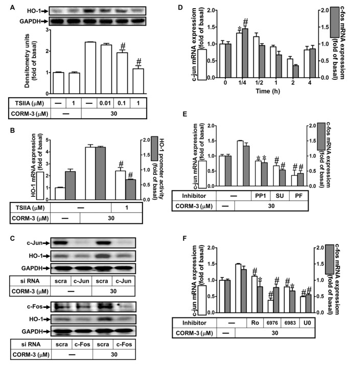 CORM-3-induced HO-1 expression is mediated through activator protein (AP)-1. (A) RBA-1 cells were pretreated with various concentrations of Tanshinone IIA (TSIIA) for 1 h, and then stimulated with 30 μM CORM-3 for 6 h. The levels of HO-1 and GAPDH (as an internal control) protein expression were determined by Western blot. (B) RBA-1 cells were pretreated with TSIIA (1 μM) for 1 h and then incubated with 30 μM CORM-3 for 4 h. The levels of HO-1 mRNA were determined by real-time PCR (Open bars). Cells were transiently transfected with HO-1 report gene together a β-galactosidase plasmid, pretreated with TSIIA (1 μM) for 1 h, and then incubated with CORM-3 for 1 h. Promoter activity was determined in the cell lysates (Gray bars). (C) RBA-1 cells were transfected with c-Fos or c-Jun siRNA and then incubated with 30 μM CORM-3 for 6 h. The levels of total protein c-Fos, c-Jun and HO-1 were determined by Western blot. (D) RBA-1 cells were incubated with 30 μM CORM-3 for the indicated time intervals. (E,F) Cells were pretreated without or with (E) PP1 (10 μM), SU6656 (10 μM), or PF431396 (10 μM) and (F) (3 μM) Ro-318220, (3 μM) Gö6976, (3 μM) Gö6983, or (10 μM) U0126 for 1 h and then incubated with (30 μM) CORM-3 for 15 min. (D–F) The levels of c-jun (Open bars) and c-fos (Gray bars) mRNA were determined by real-time PCR. Data are expressed as the mean ± SEM of three independent experiments ( n = 3). * p
