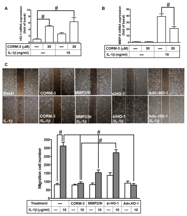 CORM-3-induced HO-1 expression reduces the interleukin (IL)-1β-induced matrix metalloproteinase-9 (MMP-9) expression and cell migration. (A,B) RBA-1 cells were incubated with pretreated with (30 μM) CORM-3 for 4 h, and then incubated with IL-1β (10 μg/ml) for 6 h. The levels of HO-1 and MMP-9 mRNA were determined by real-time PCR. (C) RBA-1 cells were pretreated with (10 μM) MMP2/9i for 1 h or transfected HO-1 siRNA followed by (30 μM) CORM-3, and infected with adenovirus-introduced HO-1, and then incubated with IL-1β (10 μg/ml) for 48 h in the presence of (1 μM) hydroxyurea. Phase contrast images of cell migration were taken at 48 h. Data are expressed as the mean ± SEM of three independent experiments ( n = 3). # p