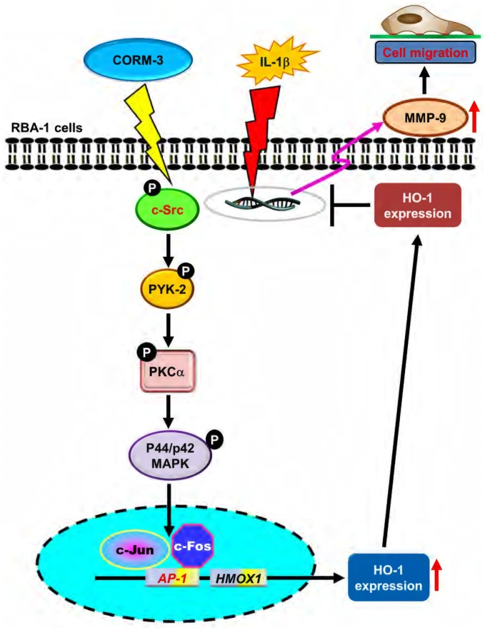 Schematic representation of signaling pathways involved in CORM-3-induced HO-1 expression and protected against IL-1β-induced cell migration in RBA-1 cells. CORM-3 activated c-Src/Pyk2/PKCα/p42/p44 MAPK/AP-1 pathway to induce HO-1 expression which suppressed the IL-1β-induced MMP-9 mRNA expression and cell migration.