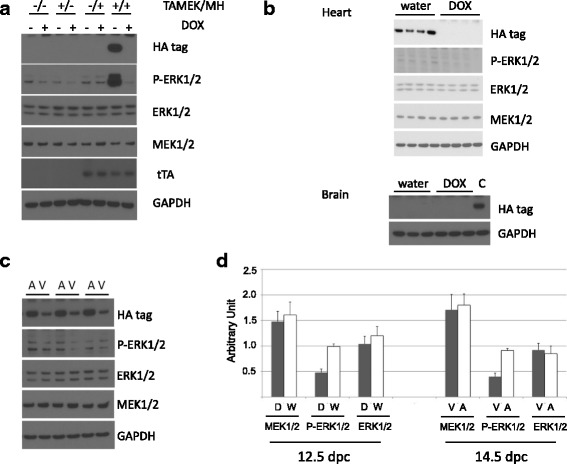 Regulation of MEK1 transgene and ERK1/2 expression. a Activation of the HA-tagged human aMEK1 is regulated by the expression of tTA and doxycycline (DOX) in the TAMEK/MH DTg mouse heart. b At 12.5 dpc, fetal hearts expressed the aMEK1 transgene when the pregnant females did not receive DOX in their drinking water. Expression of aMEK1 transgene was absent in the fetal brain. c At 14.5 dpc, the expression of aMEK1 transgene. And corresponding ERK1/2 phosphorylation, is higher in the atria than in the ventricles as demonstrated in paired tissues ( n = 5). d Quantitation of MEK1/2, ERK1/2 and P-ERK1/2 protein from water- (W) or DOX- (D) treated mice at 12.5 dpc, and from ventricular (V) and atrial (A) tissue at 14.5 dpc. Original blots available in Additional file 5 S5