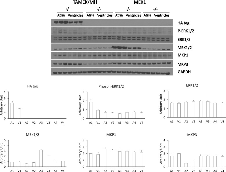 Regulation of the MEK-ERK signaling pathway in 14.5 dpc hearts from two different aMEK1 transgenic models. Despite evidence of aMEK1 expression in the atria of both TAMEK/MH DTg and MEK1 single Tg mice, increased ERK1/2 phosphorylation was documented only in the DTg. * P