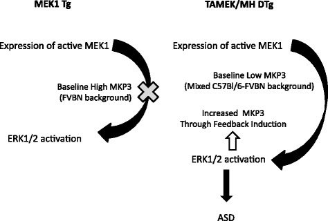 Proposed role of baseline MKP3 expression in determining ERK1/2 activation and, in turn, putative induction of ASD phenotype in transgenic mice with expression of constitutively active MEK1 (see Discussion)