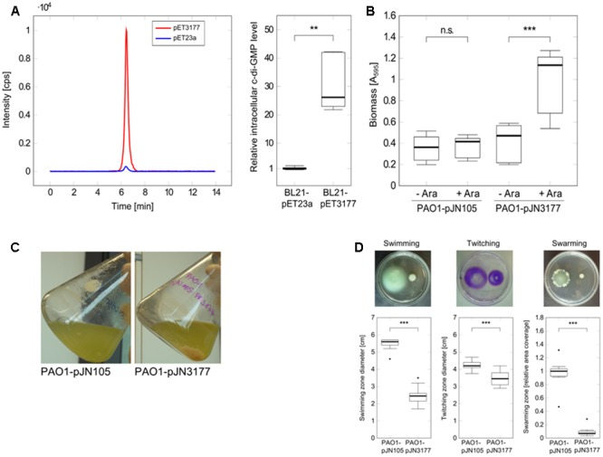 Characterization of the DGC PA3177. (A) E. coli BL21-pET3177 and the vector control strain BL21-pET23a were grown in LB broth supplemented with 0.4 mM IPTG for 5 h at 37°C followed by nucleotide extraction and quantification of intracellular c-di-GMP by LC-MS. Levels of c-di-GMP were normalized to the total protein content of the respective sample and compared to c-di-GMP levels in empty vector control strain BL21-pET23a ( n = 6). The chromatogram shows c-di-GMP peaks of one representative measurement. (B) Attachment of P. aeruginosa during PA3177 overexpression was evaluated by crystal violet staining. PAO1-pJN3177 and empty vector control strain PAO1-pJN105 were incubated in 96-well microtiter plates for 2 h at 37°C followed by biomass quantification. For recombinant gene expression, BM2 was supplemented with 0.1% (w/v) arabinose (+Ara). Cultures without arabinose (–Ara) served as negative controls. Experiments were carried out in triplicate, each with six wells per strain and condition ( n = 18). (C) Planktonic growth during 5 h at 37°C. (D) Overnight cultures of PA3177-overexpressing strain P. aeruginosa PA01-pJN3177 and vector control PAO1-pJN105 were diluted in LB broth supplemented with 0.1% (w/v) arabinose and grown for 5 h at 37°C followed by evaluation of swimming, swarming and twitching motility. Assays were carried out with three independent bacterial cultures and at least four agar plates per experiment ( n ≥ 12). In all experiments statistical significance was evaluated by the Mann-Whitney test ( ∗∗∗ p ≤ 0.001, ∗∗ p ≤ 0.01, n.s., not significant). Boxes include median (thick horizontal line), 25th and 75th percentiles. Dots indicate extreme values considered as outliers.