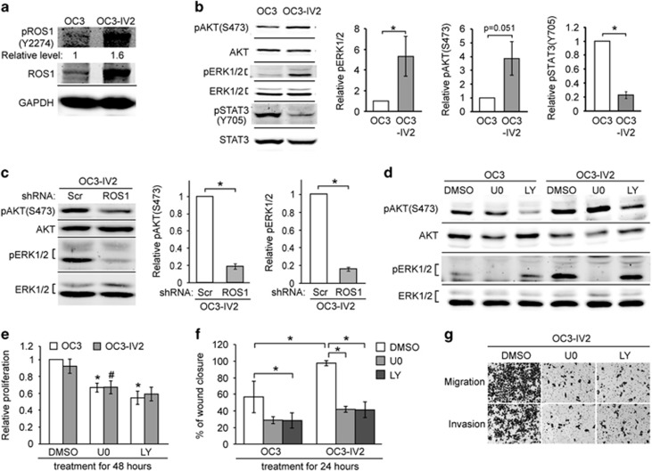 Effect of increased ROS1 on MAPK, PI3K-AKT signaling pathways, cell proliferation, migration, and invasion. ( a ) Western blotting was carried out with lysates of OC3 and OC3-IV2 cells using anti-ROS1 and anti-pROS1(Y2274). The value for pROS1(Y2274) was normalized to total ROS1. ( b and c ) Relative protein levels of pAKT(S473), AKT, pERK1/2, ERK1/2, pSTAT3(Y705), and STAT3 in OC3, OC3-IV2, OC3-IV2-Scr, and OC3-IV2-shROS1#1 cells as determined with Western blotting. Levels of pERK1/2, pAKT(S473), and pSTAT3(Y705) were normalized to those of total ERK1/2, AKT, and STAT3, respectively, and then to OC3 and OC3-IV2-Scr cells. ( d ) pAKT(S473), AKT, pERK1/2, and ERK1/2 levels in lysates from OC3 and OC3-IV2 cells treated with 20 μ M U0126 or LY294002 for 24 h. ( e and f ) Relative proliferation and migration of OC3 and OC3-IV2 cells treated with 20 μ M U0126 or LY294002 for 24 or 48 h were assessed using MTT and wound-healing assays, respectively. * , # Compared with DMSO treatment. ( g ) Migration and invasion of OC3-IV2 cells treated with 20 μ M U0126 or LY294002 for 26 h were assessed with the Boyden chamber assay. Data from at least three independent experiments are presented as mean±SEM (* , # P