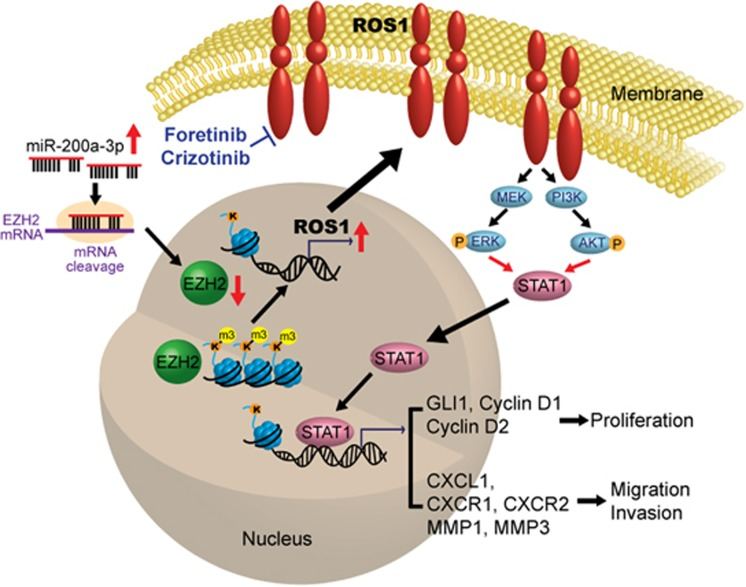 Schematic model of how ROS1 promotes oral cancer progression. Higher level of miR-200a-3p correlates with low EZH2 and enhanced OSCC invasion. The reduction of EZH2 level in the highly invasive OSCC cells relieves H3K27m3 modification and opens chromatin for transcriptional activation of ROS1 as well as a number of novel ROS1 target genes. Elevated ROS1 activates the MEK-ERK1/2 and PI3K-AKT pathways to increase STAT1 occupancy at the regulatory regions of GLI1 and CXCL1 to promote cell proliferation and invasion.