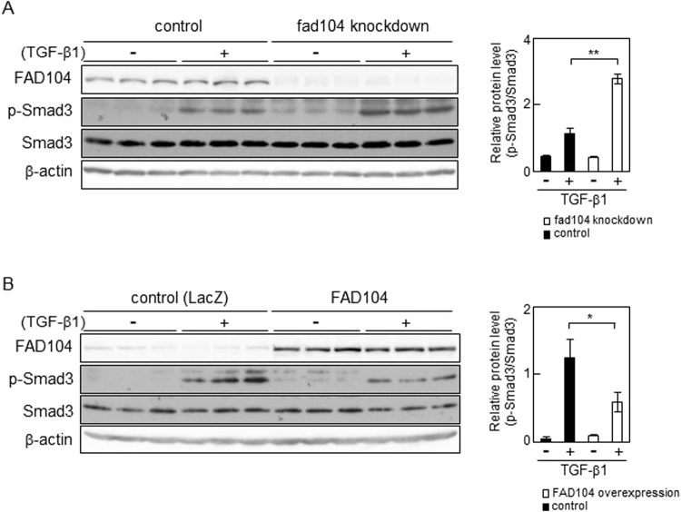 FAD104 negatively regulates phosphorylation level of Smad3 with TGF-β1 treatment in HeLa cells. ( A ) Phosphorylation levels of Smad3 in fad104 knockdown HeLa cells. HeLa cells were transfected with siRNA targeting fad104 (sifad104-A) and treated with 1 ng/mL TGF-β1 for 6 h. ( B ) Phosphorylation levels of Smad3 in HeLa cells overexpressing FAD104. HeLa cells were infected with FAD104 and treated with 1 ng/mL TGF-β1 for 6 h. Whole-cell lysates were subjected to Western blot analysis and β-actin was used as a loading control. Signal intensities from phospho-Smad3, total Smad3, and β-actin were quantified using NIH-Image software. Each column represents the mean with standard deviation (n = 3). Significant differences are indicated as ** p