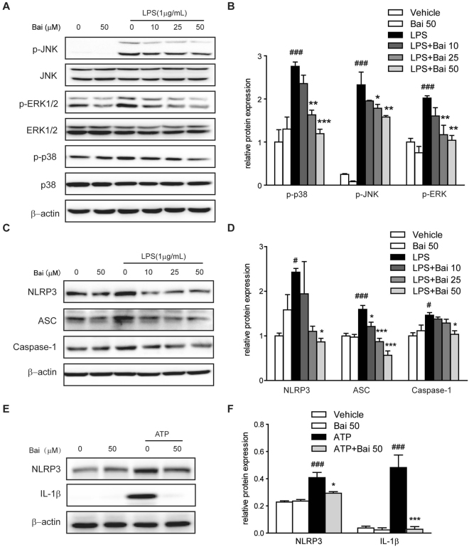 Baicalein inhibited MAPK signaling molecules in RAW264.7 cells and inhibited NLRP3 inflammasome activation in THP-1 cells. Cells were treated with baicalein for 2 h followed by an additional treatment with or without LPS (1 μg/ml) for 24 h. ( A ) Protein levels in RAW264.7 cells were determined with antibodies against JNK, p-JNK, ERK1/2, p-ERK1/2, p38, p-p38 (1:1000 dilution) and β-actin (1:2000 dilution) by immunoblotting. Quantification of the protein expression was performed by densitometric analysis of the blots. The ratio of phosphorylated MAPK to regular MAPK was shown ( B ). ( C ) Protein levels in THP-1 cells were determined with antibodies against NLRP3, ASC, caspase-1 (1:1000 dilution) and β-actin (1:2000 dilution) by immunoblotting. Quantification of the protein expression was performed by densitometric analysis of the blots ( D ). ( E ) THP-1 cells were pretreated with baicalein for 2 h and then followed by stimulation with ATP (5 mM) for 24 h. Protein expression was determined with antibodies against NLRP3, IL-1β (1:1000 dilution) and β-actin (1:2000 dilution) by immunoblotting. Quantification of the protein expression was performed by densitometric analysis of the blots ( F ). Expression was normalized to β-actin. Results were expressed as means ± SD of three independent experiments (n = 3). # p