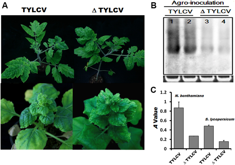 Agroinoculation-mediated test of the pathogenicity of TYLCV and TYLCV mutant. ( A ) TYLCV mutant attenuates the symptoms induced by TYLCV. Tomato and N. benthamiana plants were agro-inoculated with TYLCV or TYLCV mutant (Δ TYLCV), and were photographed 30 days later. ( B ) DNA gel blot hybridization analysis of TYLCV DNA from systemically infected tomato leaf tissues. 20 μg of total DNA was used for each lane. An ethidium bromide stained gel was provided as a loading control. ( C ) Triple antibody sandwich ELISA test of TYLCV viral content in TYLCV or TYLCV mutant-infected tomato and N. benthamiana plants, respectively. A value represents the mean value obtained from four independent plants with three replicates at OD 405 . The error bars indicate the standard deviation of each sample. * p