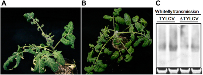 <t>TYLCV</t> ( A ) and TYLCV mutant ( B ) could be transmitted by the whitefly B. tabaci MED. ( C ) Detection of TYLCV <t>DNA</t> from tomato leaf tissues transmitted by whitefly at 30 days.