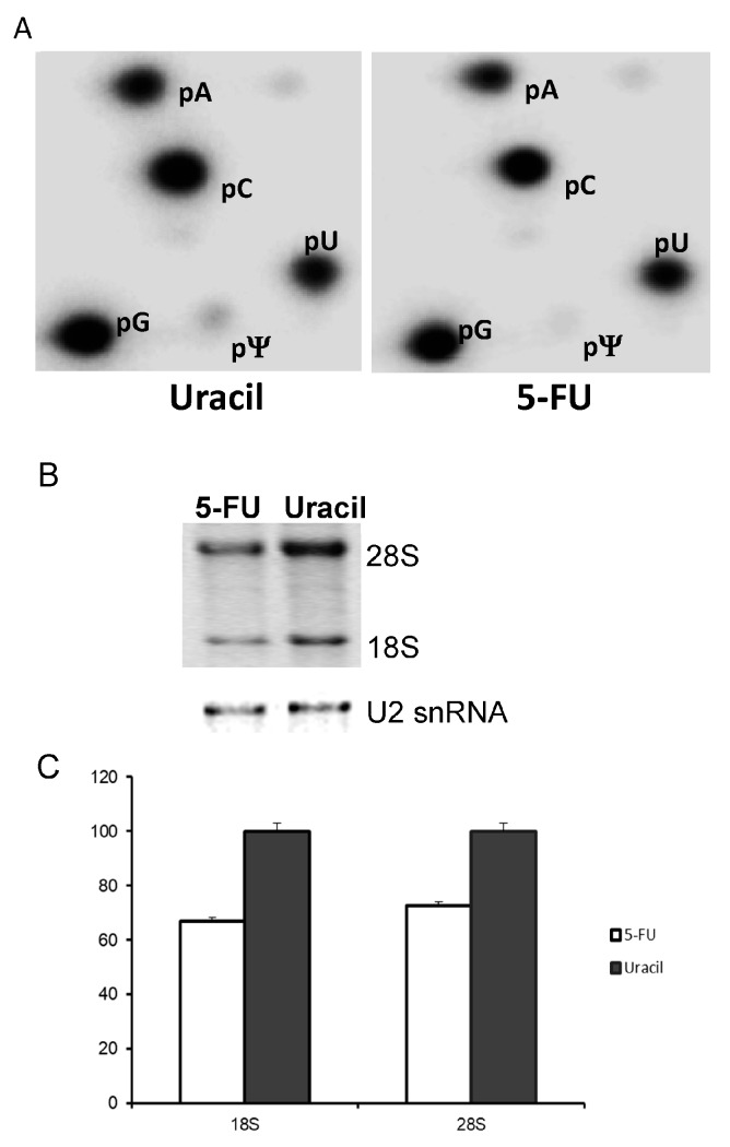 Ribosomal RNA (rRNA) pseudouridine levels as well as rRNA levels in SW-480 cells treated with uracil or 5-FU. ( A ) 18S and 28S rRNA were gel-purified from [ 32 P]-orthophosphate pulsed SW-480 cells cultured in medium containing uracil (left panel) or 5-FU (right panel), and subjected to nuclease P1 digestion and 2-dimensional thin layer chromatography (2D-TLC). Spots corresponding to adenosine (pA), cytosine (pC), guanosine (pG), uridine (pU), and pseudouridine (pΨ) are labeled. For uracil-treated cells (left panel), the pU/pΨ ratio is ~5%; for 5-FU-treated cell (right), the pU/pΨ ratio is ~1%. ( B ) Total RNA from 5-FU- and uracil-treated cells was resolved by electrophoresis, and photographed (top). As a loading control, U2 small nuclear RNA (snRNA) was detected by Northern blotting (bottom). ( C ) Relative levels of 18S and 28S from 5-FU- and uracil-treated cells were quantified.