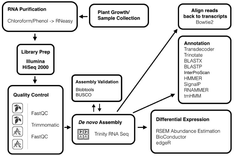 Process for de novo RNA-seq assembly and annotation. RNA from two replicates each of roots and leaves was sequenced with an Illumina HiSeq 2000. Trinity RNA seq was used to de novo assemble a reference transcriptome from the combined paired reads from all four T. radicans leaves and roots samples. Assembled transcripts were then annotated using a variety of programs.