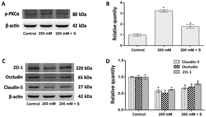 Effect of the ethanol-induced increase in p-PKCα expression on claudin-5, occludin and ZO-1 expression. (A) Western blotting analysis of p-PKCα and β-actin protein expression. (B) Quantitative analysis of p-PKCα protein expression relative to β-actin expression. (C) Western blotting analysis of claudin-5, occludin and ZO-1 protein expression. (D) Quantitative analysis of claudin-5, occludin and ZO-1 protein expression relative to β-actin expression. The results (n=5) are presented as the mean ± standard deviation. *P