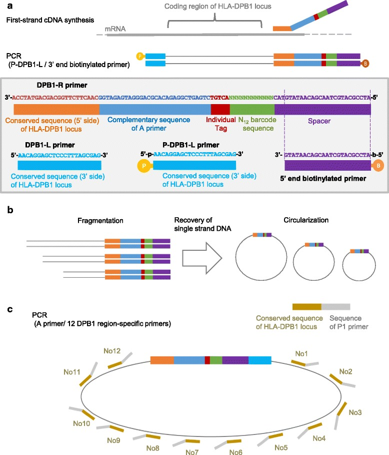 Complete sequencing of individual <t>cDNA</t> molecules with molecular barcodes. a , cDNA synthesis and <t>PCR.</t> b , Fragmentation and circularization. c , Template preparation through PCR using a circularized molecule as the template