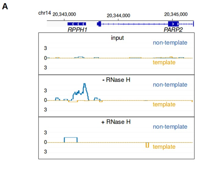 bisDRIP-seq scores are sensitive to RNase H. ( A ) RNA-DNA hybrid formation is necessary for enrichment of bisDRIP-seq signal at sites of R-loop formation. RNA-DNA hybrids are integral components of R-loops. RNA-DNA hybrids are known to bind the S9.6 antibody and to be degraded by RNase H. R-loop signal should therefore be lost in the absence of S9.6 immunoprecipitation or if the sample is treated with RNase H. In each of these plots, the template strand refers to the strand used for RPPH1 transcription, rather than the template strand used for PAPR2 transcription. Also, in each plot the bisDRIP-seq score on the template strand and non-template strand were plotted below the x-axis (orange) or above the x-axis (blue), respectively. In the top plot, bisDRIP-seq scores were mapped to the genomic region surrounding RPPH1 from 'input' samples (mean bisDRIP-seq score from n = 2 samples). These input samples received the entire bisDRIP-seq treatment except for the S9.6 immunoprecipitation enrichment steps. In the middle plot, bisDRIP-seq scores were mapped to the genomic region surrounding RPPH1 from a control-treated bisDRIP-seq experiment that was not treated with RNase H (n = 1 sample). In the bottom plot, bisDRIP-seq scores were mapped to the genomic region surrounding RPPH1 from an RNase H-treated bisDRIP-seq experiment (n = 1 sample). The bisDRIP-seq sample that was not treated with RNase H has high bisDRIP-seq score at the RPPH1 locus. On the other hand, there is a large decrease in bisDRIP-seq signal in the sample treated with RNase H. This suggests that bisDRIP-seq signal in the RPPH1 locus depends on the presence of an RNA-DNA hybrid.
