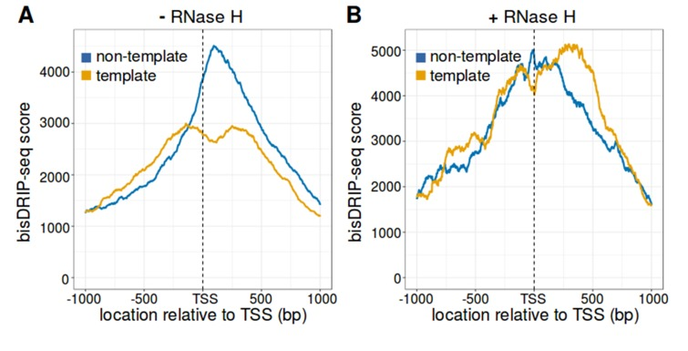 The strand asymmetry of bisDRIP-seq scores 3' of the transcription start site is sensitive to RNase H. ( A,B ) The strand asymmetry in bisDRIP-seq scores 3' of transcription start sites is not observed after RNase H treatment. RNA-DNA hybrids are core components of R-loops. If the strand asymmetry observed in metaplots of promoter regions is due to R-loops, than it should be selectively sensitive to RNase H. We therefore generated metaplots of bisDRIP-seq scores from two samples treated identically except that ( A ) received a vehicle treatment, while ( B ) was treated with RNase H. Metaplots were created by summing the bisDRIP-seq scores across active promoter regions (n = 15644) at each nucleotide position relative to the transcription start site. bisDRIP-seq scores were calculated separately for the nucleotide position on the non-template strand (blue) and template strand (orange). In the vehicle-treated sample, non-template bisDRIP-seq scores are higher than template bisDRIP-seq scores immediately 3' of the transcription start site. This replicates the result from Figure 3E . On the other hand, there is a complete loss of bisDRIP-seq score strand asymmetry after RNase H treatment in ( B ). This confirms that the asymmetry observed in Figure 3E is caused by R-loops.