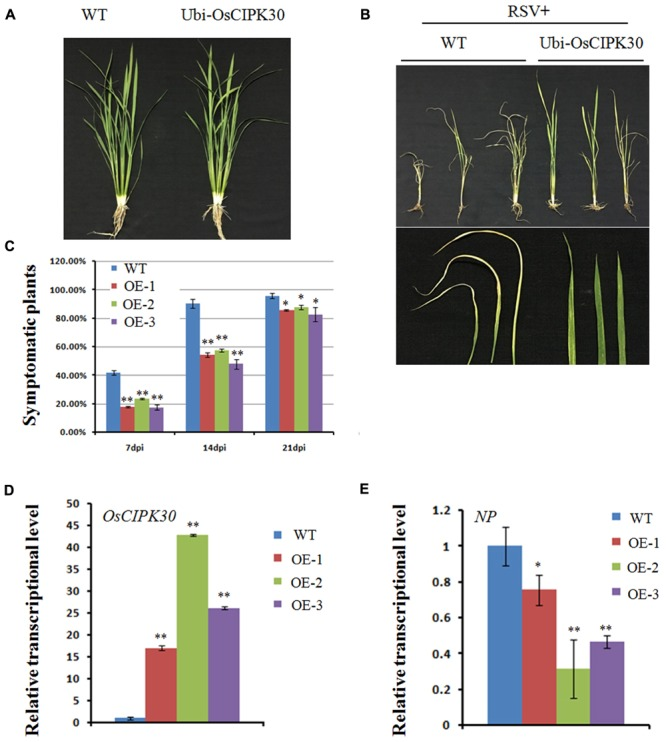Effect of OsCIPK30 overexpression on RSV infection in rice. (A) Growth of the WT and Ubi-OsCIPK30 transgenic rice (T 1 generation). (B) WT and Ubi-OsCIPK30 T 1 transgenic rice were inoculated with RSV and photographed at 21 dpi. The lower panel of (B) shows the symptomatic leaves of the representative plants. (C) Temporal changes of RSV symptom development in WT and Ubi-OsCIPK30 T 1 transgenic rice (OE-1, OE-2, OE-3). Thirty plants were used for each treatment in the experiment. (D) The expression level of OsCIPK30 in T 1 transgenic rice (OE-1, OE-2, OE-3) by real-time RT-PCR at 21 dpi with RSV. The relative mRNA levels were calculated with respect to the expression level of the corresponding transcript in the WT rice plant. (E) The expression level of NP in T 1 transgenic rice (OE-1, OE-2, OE-3) by real-time RT-PCR at 21 dpi with RSV. The relative mRNA levels were calculated with respect to the expression level of the corresponding transcript in the WT rice plant. All the experiments were repeated three times, and similar results were obtained. The data represent the means ± SD of triplicate measurements. The asterisks above the columns represent significance based on an unpaired, two-tailed Student's t -test relative to the WT. ∗∗ P