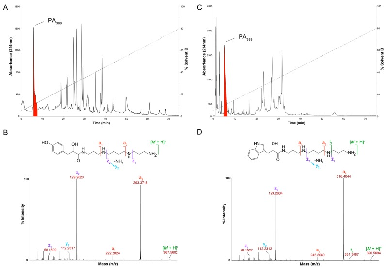 Characterisation of spider venom polyamines. ( A ) RP-HPLC chromatogram of crude female Phlogius sp. venom with the peak corresponding to the polyamine PA 366 highlighted in red (Thermo Scientific Hypersil GOLD aQ 250 × 10 mm, 5 µm column; 1 mL/min flow rate; Solvent A H 2 O/0.05% TFA, Solvent B 90% ACN/H 2 O/0.045% TFA; 5–80% solvent B in 75 min, 80–90% solvent B in 5 min, 90% solvent B for 5 min, and 90–5% solvent B in 2 min; absorbance at 214 nm); ( B ) SCIEX TOF/TOF™ 5800 MALDI MS/MS spectrum of PA 366 using CHCA matrix, and the determined chemical structure with relevant fragment ions highlighted; ( C ) RP-HPLC chromatogram of crude female A. robustus venom with the peak corresponding to the polyamine PA 389 highlighted in red (Thermo Scientific Hypersil GOLD aQ 250 × 10 mm, 5 µm column; 1 mL/min flow rate; Solvent A H 2 O/0.05% TFA, Solvent B 90% ACN/H 2 O/0.045% TFA; 5–80% solvent B in 75 min, 80–90% solvent B in 5 min, 90% solvent B for 5 min, and 90–5% solvent B in 2 min; absorbance at 214 nm); ( D ) SCIEX TOF/TOF™ 5800 MALDI-MS/MS spectrum of PA 389 using CHCA matrix, and the determined chemical structure with relevant fragment ions highlighted.
