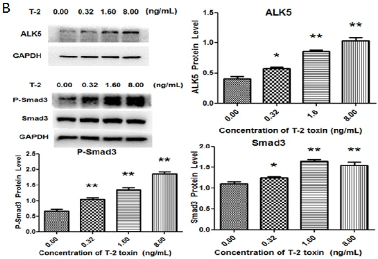 T-2 toxin induced changes of collagen degradation-related proteins. Western blot was used to detect the protein production of ( A ) TGF-β1, MMP13, type II collagen, ( B ) ALK5, P-Smad3, and Smad3 subsequent to treatment with different concentrations of T-2 toxin (0.00 ng/mL, 0.32 ng/mL, 1.60 ng/mL, 8.00 ng/mL). * p