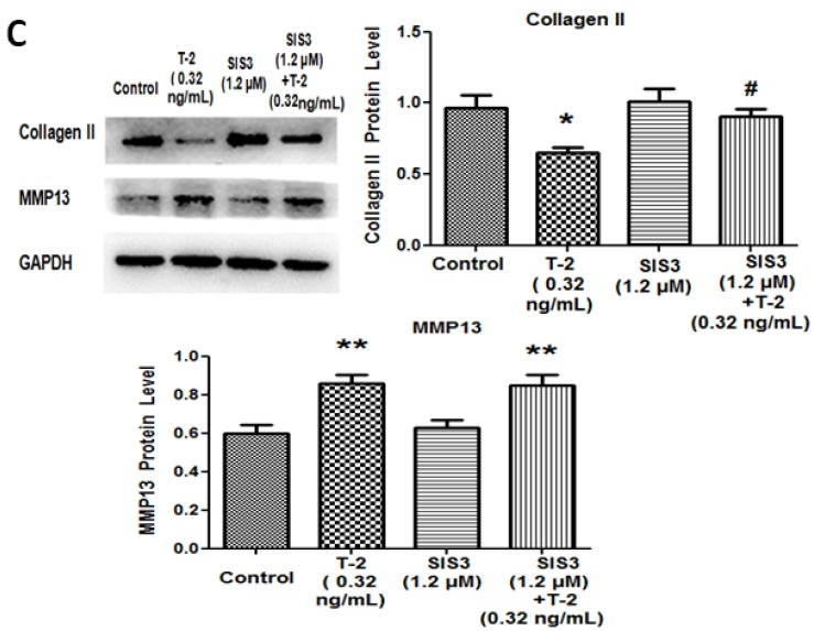 TGF-β1 and Smad3 inhibitors could block the effect of T-2 toxin. After incubation with ( A , B )SB-431542 (0.50 μM of TGF-β1 inhibitor) or ( C ) SIS3 (1.2 μM of Smad3 inhibitor) for 1 h, chondrocytes were treated with T-2 toxin for another 24 h. Western blot was used to detect protein levels of P-Smad3, Smad3, ALK5, type II collagen, and MMP13 in chondrocytes. * p