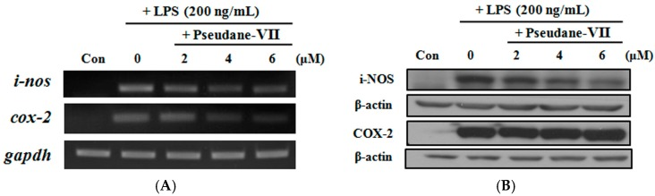Pseudane-VII suppressed LPS-induced pro-inflammatory enzymes in RAW 264.7 macrophages. The inos and cox-2 mRNA and protein expression were determined by: RT-PCR ( A ); and Western blot analysis ( B ). RAW 264.7 cells were pre-treated with various concentrations of pseudane-VII (0–6 μM) for 2 h and stimulated with LPS (200 ng/mL) for 6 h (RT-PCR) or 24 h (Western blot). Pseudane-VII treatment reduced inos and cox-2 mRNA levels, as well as iNOS and COX-2 protein level. The respective internal controls were gapdh and β-actin. The data are representative of four separate experiments.