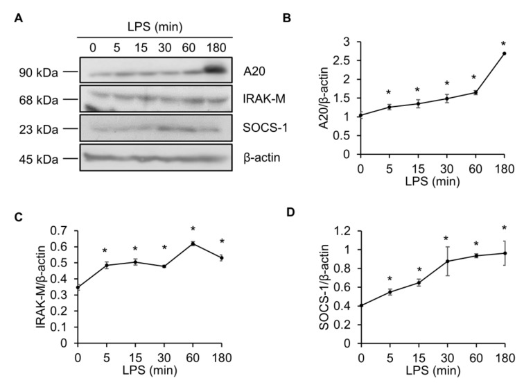 Lipopolysaccharide (LPS) elevates A20, IRAK-M and SOCS-1. ( A ) Raw264.7 cells were treated with LPS (100 ng/mL) for 0, 5, 15, 30, 60, or 180 min. Cell lysates were immunoblotted with A20, IRAK-M, and SOCS-1 antibodies, and band intensities were analyzed with ImageJ. Quantification of results for A20 ( B ), IRAK-M ( C ), and SOCS-1 ( D ). β-actin served as a loading control. * p